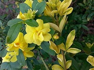 Best jasminum mesnyi plants Reviews