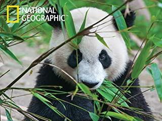 Giant Panda 500pc Puzzle for teens, adults and families of all ages!