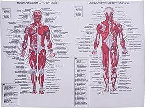 10 Mejor Imagenes Del Sistema Muscular Humano de 2020 – Mejor valorados y revisados