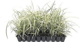 Aztec Grass - 30 Live Plants - Variegated Liriope - Ophiopogon Intermedius Argenteomarginatus