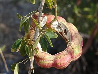 15 Seeds Guamuchil Pithecellobium Dulce Tree Madras Thorn Manila Tamarind