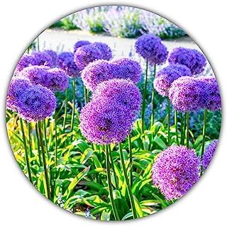 Ajo de flor gigante / Ajo gigante (Allium giganteum) / Aprox
