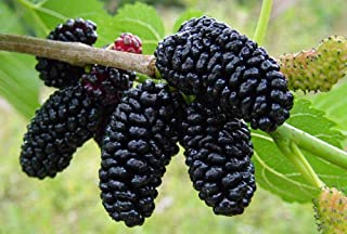 Hirt's Gardens Dwarf Everbearing Mulberry Plant - Morus nigra - Sweet Fruit - 4