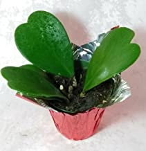 Hoya Kerrii Sweetheart Plant 4'' cover pot Plant Live Heart Rare Cute Rare