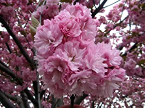 Best east asian cherry tree Reviews