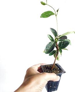 Star Jasmine Vine Plants - 4 Plants - Confederate Jasmine - Trachelospermum Jasminoides - Highly Fragrant