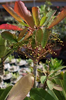 Euphorbia Sp Nova AFF Perrieri Exotic Madagascar Rạre Bónsai Cacti SéẹD 10 SéẹDs Seeds_Easy_Grow
