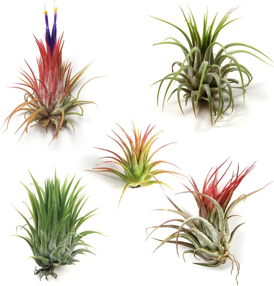 12 Pack Assorted Tillandsia Ionantha Air Plants - 30 Day Guarantee - Wholesale - Bulk - Fast Shipping - House Plants - Succulents - Free Air Plant Care Ebook by Jody James