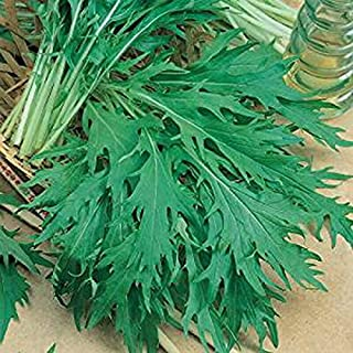 500 Green MIZUNA Mustard Japanese Greens Brassica Juncea Herb Vegetable Seeds - Comb S/H - TheGardeningWorld