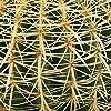 Cactus e pianta grassa da Botanicly – Cuscino della suocera – Altezza: 30 cm – Echinocactus grusonii #2