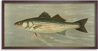 Petrie North American Fishes Striped Bass Illustration Framed Wall Art Print Long 25X12 Inch