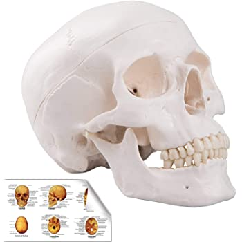 Renewed Detailed Product Manual 3-Part Life Size Anatomically Correct Medical Replica Skull Cap with External and Interior Structures Axis Scientific Human Skull Model and Worry Free 3 Year Warranty