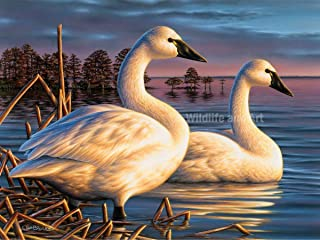 Tundra Swan Limited Edition Print -
