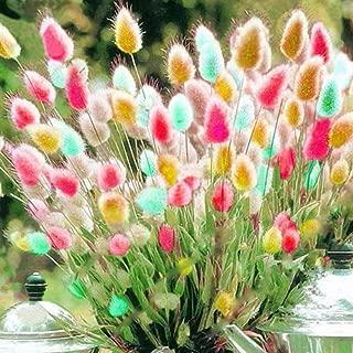eroute66 100Pcs Lagurus Ovatus Colorful Bunny Tail Grass Garden Ornamental Bonsai Seeds