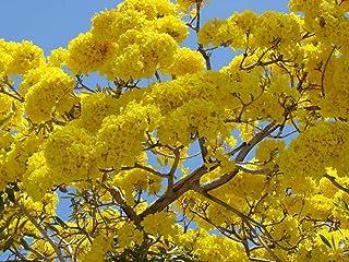 VISA STORE Tabebuia CHRYSOTA # semilla La semilla Amarillamiento 50 Semillas Exóticos & Rare