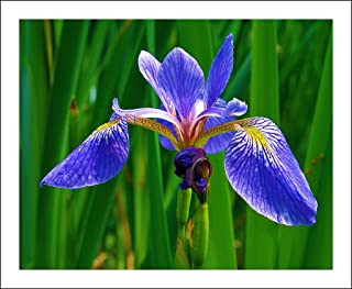 100+WILD BLUE/ROCKY MOUNTAIN IRIS American Native Wildflower Seeds FLAG LILLY