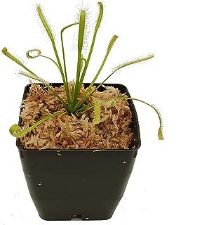 sundew plant canada