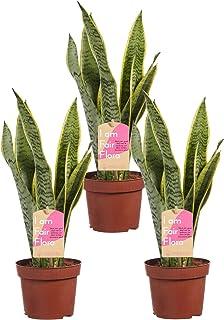 Plantas de interior de Botanicly – 3 × Lengua de tigre – Altura: 40 cm – Sansevieria trif. Laurentii