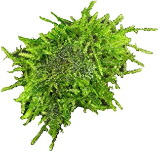 Java Moss Stone pad - Live Aquarium Plants