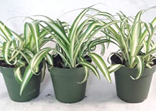 small spider plants for sale