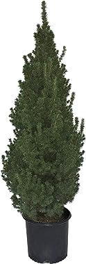 Premier Plant Solutions 01603 Picea Glauca Conica, 3 Gallon, Green