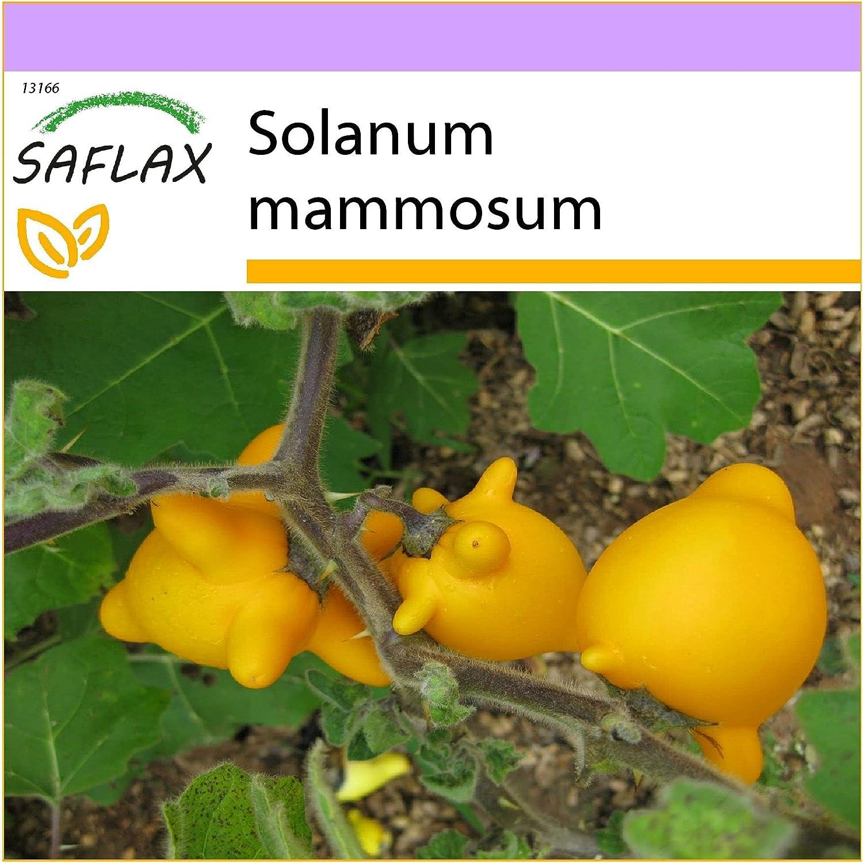 SAFLAX - Ubre de vaca - 10 semillas - Solanum mammosum