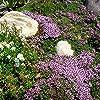 400 Timo serpillo semi di erbe, Ground Cover giardino di decorazione floreale #2