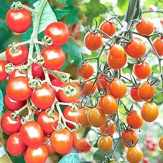 極甘ピッコラルージュ&ピッコラカナリア各2個セット ミニトマトの苗【10.5cmポット 野菜 自根苗/2品種各2個セット】●ピッコラルージュとピッコラカナリアを2POTずつセットしました。新しいトマトの世界にようこそ。マウロの地中海トマト。トマ...