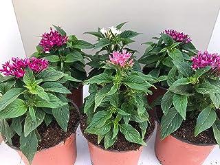 Pentas (pack 6 plantas) -Planta de Verano- (Pentas lanceolata) - Flores de Jardin - Flores de colores - VIPAR GARDEN 21 (P...