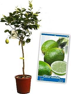 comprar comparacion Lima - Árbol frutal de 2 años