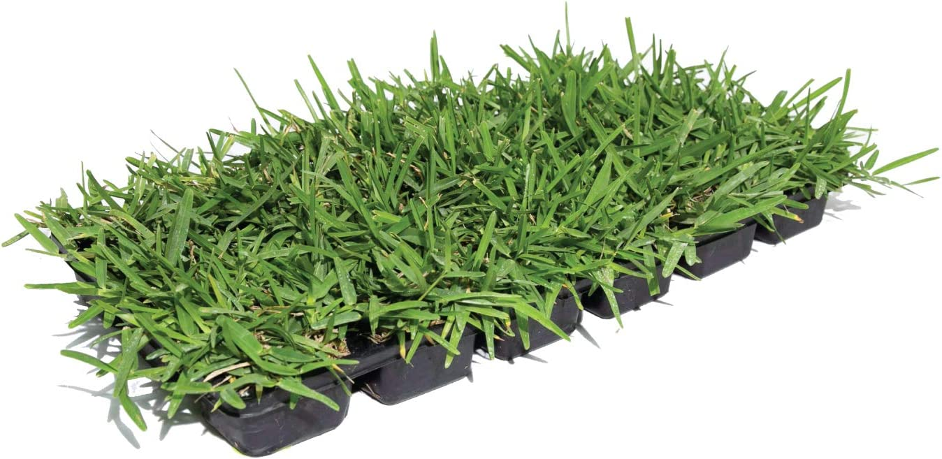 Bethel Farms St. Some reservation Augustine 3in Natural 36-Pack Grass Topics on TV Plugs