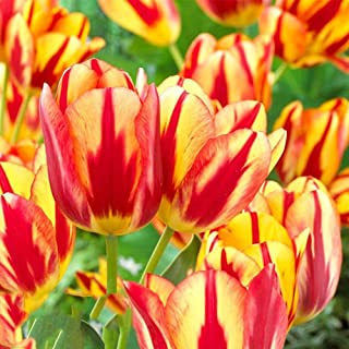 lamta1k 100Pcs Variedad Calidad de semilla de Tulip¨¢n y Altas tasas de Supervivencia Hermosa Flor Floral Home Garden Plant Decoration - 3pcs Bulbos de Tulip¨¢n Amarillo y Rojo