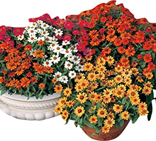 Zinnia - Profusion 5 Color Mix - Apricot, Cherry, Orange, Fire and White Flowers - Flower Seeds - 250 Seeds