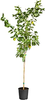 Brighter Blooms - Meyer Lemon Tree - Indoor or Outdoor Potted Fruit Plant, 5-6 Feet - No Shipping to FL, CA, TX, LA or AZ