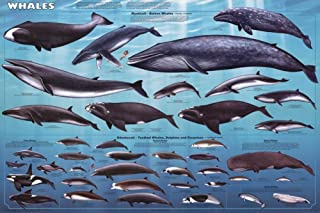 Poster Laminated Whales Educational 36 x 24in