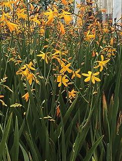 Yellow/Orange Crocosmia (15 Live Plants)