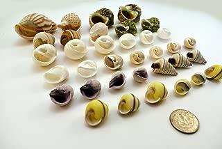 Select 35 Hermit Crab Shells Assorted Changing Seashells Small 1/2