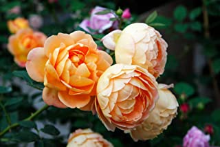 100 Pcs Climbing Colorful Rose Flowers Seeds For Garden Home Balcony Fences Yard Decoration Flowers Plants (Lady of Sherlock Rosa Seeds)