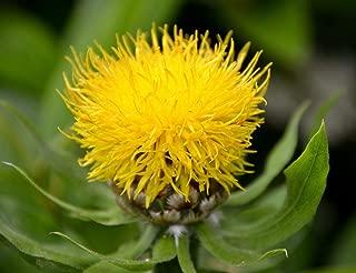 200 Seeds Centaurea moschata Yellow/amberboa Yellow/Sweet Sultan/Flower
