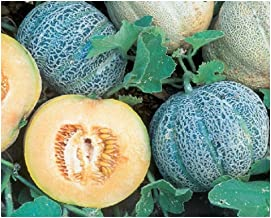 Minnesota Midget Melon Cantaloupe Early Sweet Juicy 200 Seeds MKY19