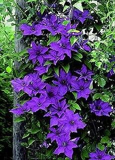 The President Clematis Vine - Deep Purple - 2.5