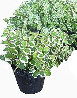 フィカス・プミラ 斑入り 12ポットセット(3号) 観葉植物 苗 セット販売 まとめ売り