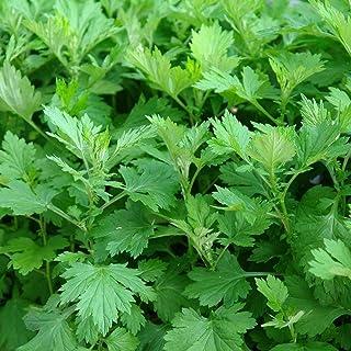 Mugwort Seeds (Artemisia vulgaris) 100+ Medicinal Herb Seeds