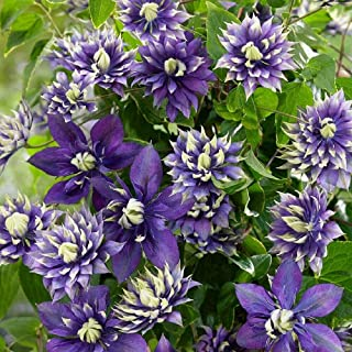 """Live Plant - Taiga Clematis Vine - Double Purple Blooms - 2.5"""" Pot - Blooms Summer Thru Fall - Flowering Plant"""