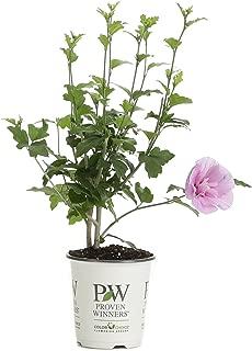 hibiscus shrubs for sale