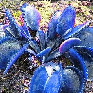 Acecor 50pcs Dionaea Muscipula Giant Clip Venus Flytrap Seeds Potted Flower Plant Seeds … (Blue)