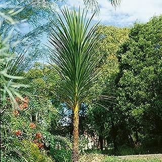 Cordyline - Australis - 40 Seeds