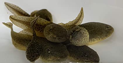 Toledo Goldfish Live Bullfrog Tadpoles for Koi Pond, Goldfish Aquarium or Tank – Live Tadpoles Grow to Bullfrogs – Born and Raised in The USA - Live Arrival Guarantee