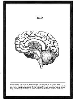 Nacnic Poster de Cerebro craneo Lateral. Anatomia del Cuerpo Humano. Musculos y Huesos. Láminas con Partes del Cuerpo Humano. Tamaño A3