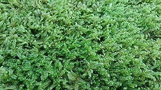 【栽培品 ハイゴケ 50×35トレー入り】庭園 苔庭 テラリウム 盆栽 造園素材等 定着良 良質 説明書付き